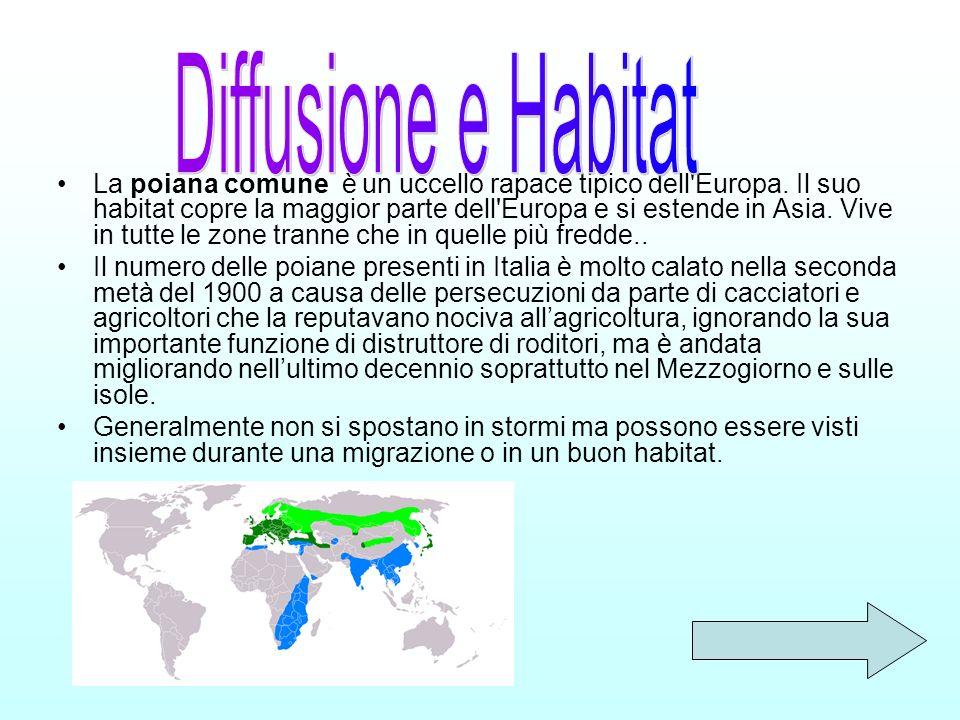 La poiana comune è un uccello rapace tipico dell'Europa. Il suo habitat copre la maggior parte dell'Europa e si estende in Asia. Vive in tutte le zone