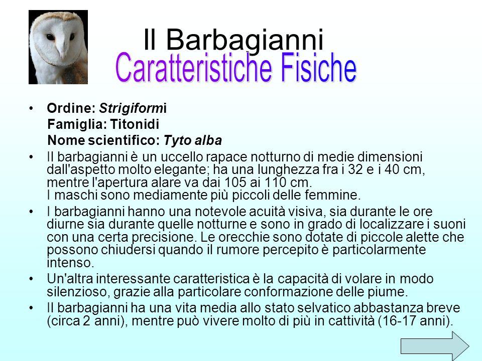 Il Barbagianni Ordine: Strigiformi Famiglia: Titonidi Nome scientifico: Tyto alba Il barbagianni è un uccello rapace notturno di medie dimensioni dall