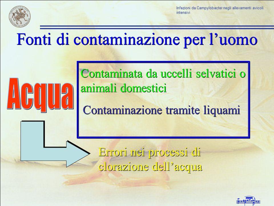 Infezioni da Campylobacter negli allevamenti avicoli intensivi Fonti di contaminazione per luomo Contaminata da uccelli selvatici o animali domestici