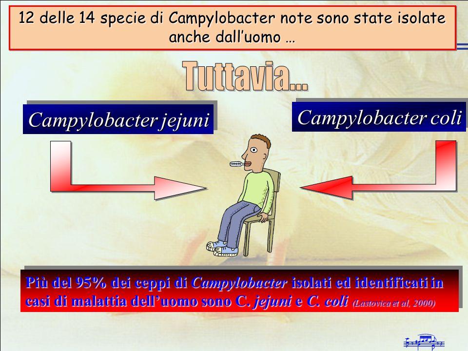 Infezioni da Campylobacter negli allevamenti avicoli intensivi Campylobacter jejuni Campylobacter coli Più del 95% dei ceppi di Campylobacter isolati