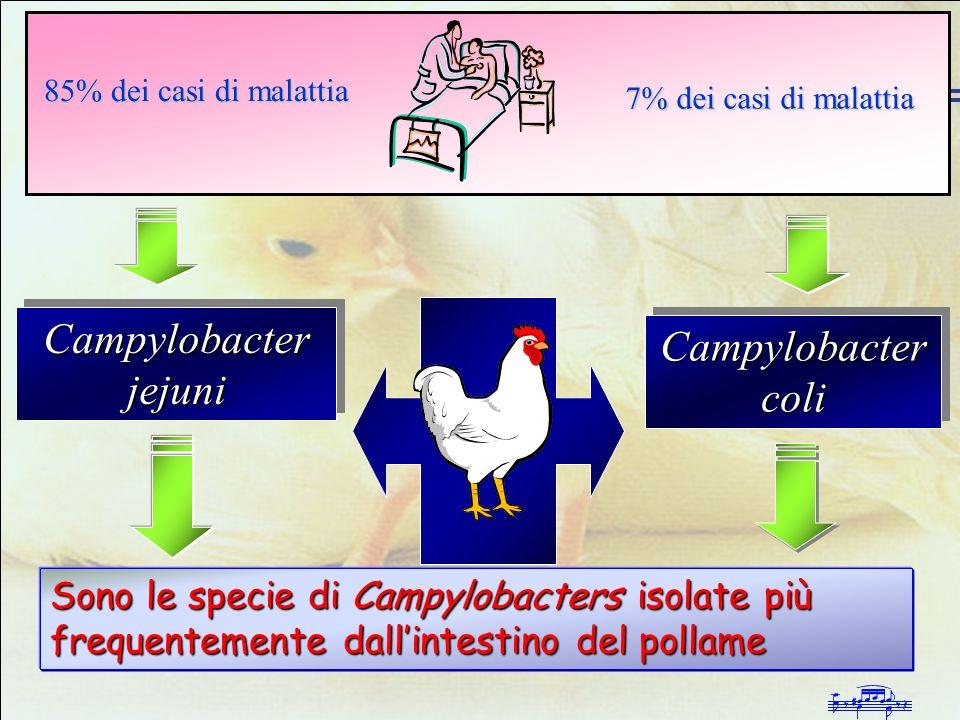 Infezioni da Campylobacter negli allevamenti avicoli intensivi Campylobacter jejuni Campylobacter coli Sono le specie di Campylobacters isolate più fr