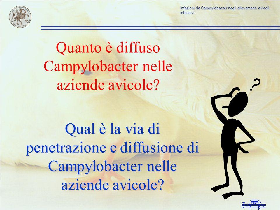 Infezioni da Campylobacter negli allevamenti avicoli intensivi Quanto è diffuso Campylobacter nelle aziende avicole? Qual è la via di penetrazione e d