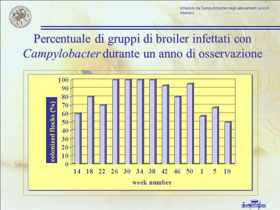 Infezioni da Campylobacter negli allevamenti avicoli intensivi Percentuale di gruppi di broiler infettati con Campylobacter durante un anno di osserva