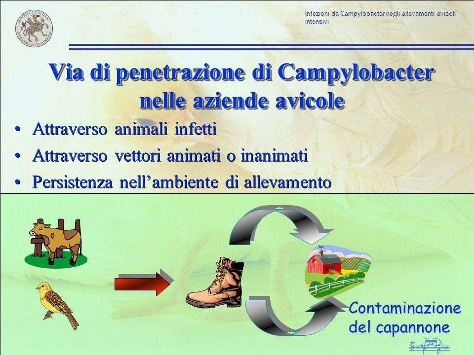 Infezioni da Campylobacter negli allevamenti avicoli intensivi Via di penetrazione di Campylobacter nelle aziende avicole Attraverso animali infetti A