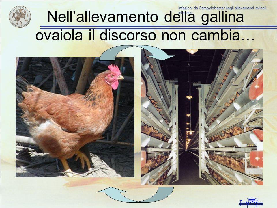 Nellallevamento della gallina ovaiola il discorso non cambia…