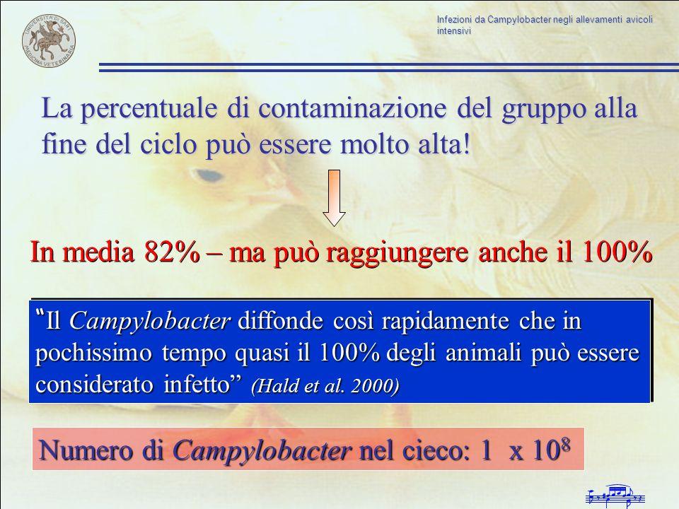 Infezioni da Campylobacter negli allevamenti avicoli intensivi La percentuale di contaminazione del gruppo alla fine del ciclo può essere molto alta!