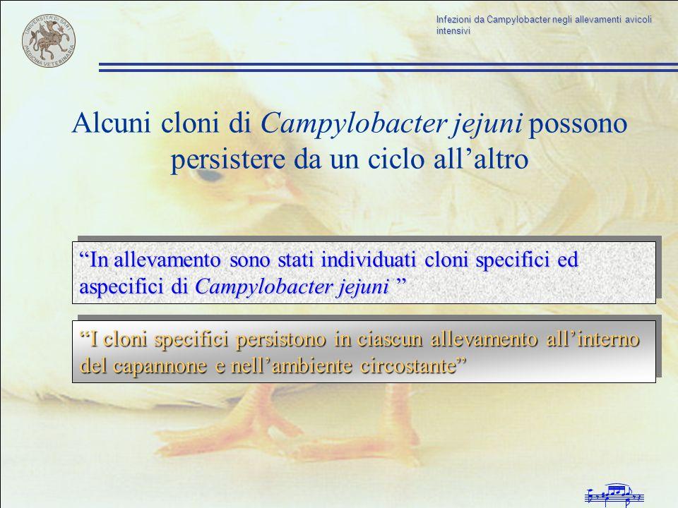 Infezioni da Campylobacter negli allevamenti avicoli intensivi Alcuni cloni di Campylobacter jejuni possono persistere da un ciclo allaltro In allevam