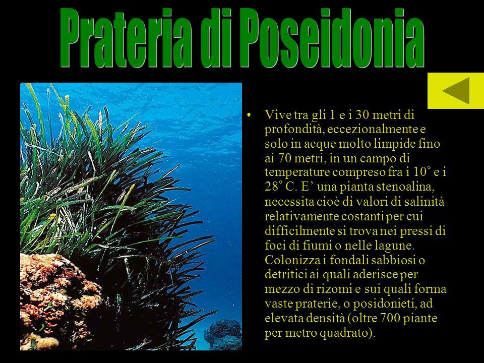Vive tra gli 1 e i 30 metri di profondità, eccezionalmente e solo in acque molto limpide fino ai 70 metri, in un campo di temperature compreso fra i 1