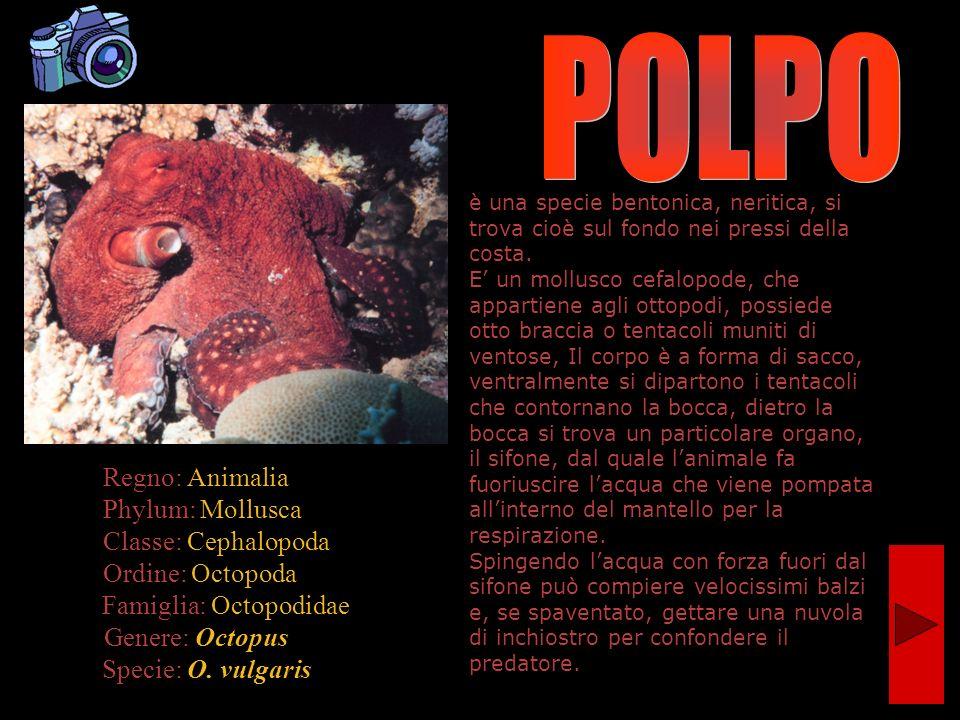 Regno: Animalia Phylum: Mollusca Classe: Cephalopoda Ordine: Octopoda Famiglia: Octopodidae Genere: Octopus Specie: O. vulgaris è una specie bentonica