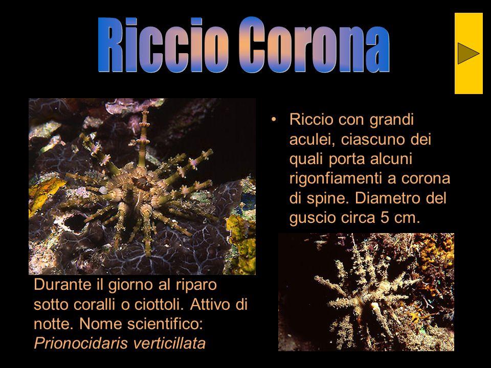 Durante il giorno al riparo sotto coralli o ciottoli. Attivo di notte. Nome scientifico: Prionocidaris verticillata Riccio con grandi aculei, ciascuno