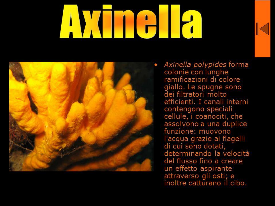 Axinella polypides forma colonie con lunghe ramificazioni di colore giallo. Le spugne sono dei filtratori molto efficienti. I canali interni contengon