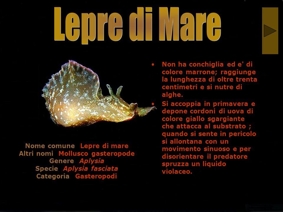 Nome comune: Lepre di mare Altri nomi: Mollusco gasteropode Genere: Aplysia Specie: Aplysia fasciata Categoria: Gasteropodi Non ha conchiglia ed e' di