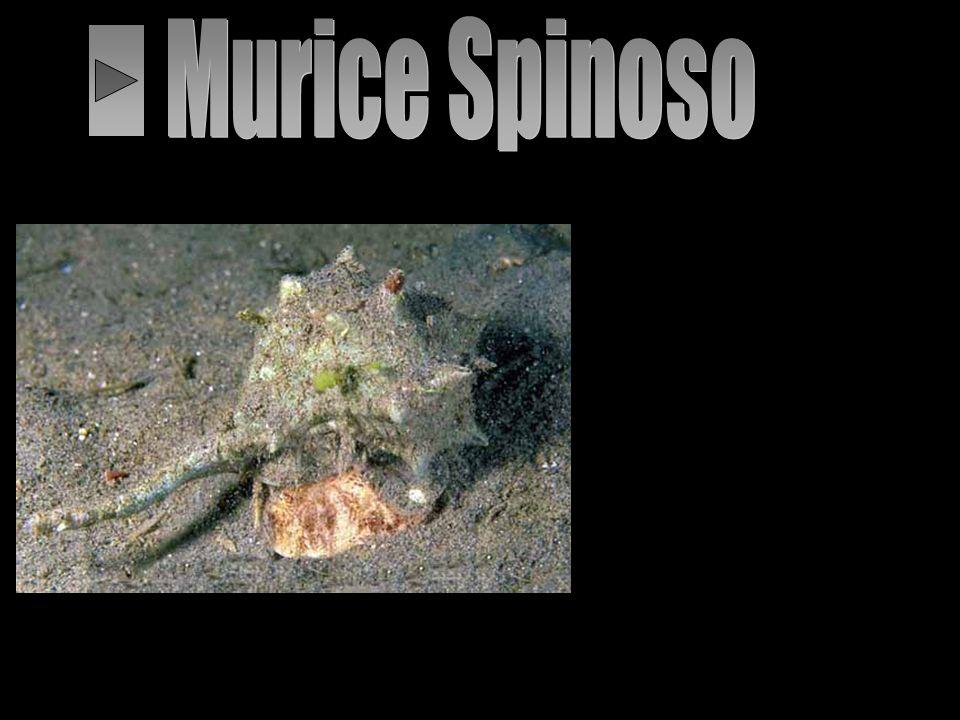 Mollusco gasteropode con una conchiglia robusta munita di prolungamenti spinosi e dalla forma rigonfia allungata in una estremità del sifone. La speci