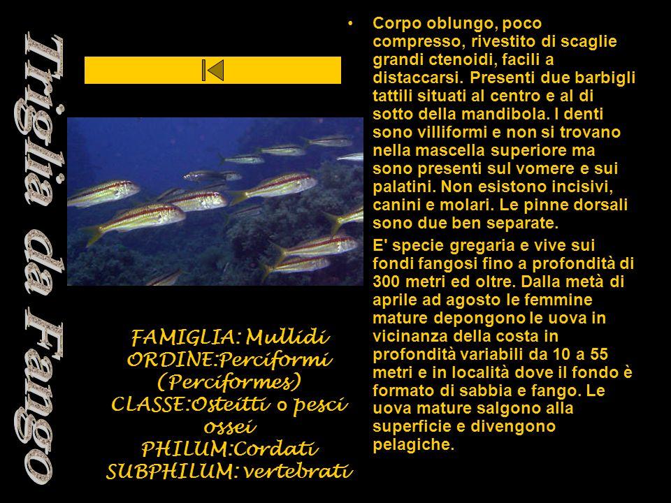FAMIGLIA: Mullidi ORDINE:Perciformi (Perciformes) CLASSE:Osteitti o pesci ossei PHILUM:Cordati SUBPHILUM: vertebrati Corpo oblungo, poco compresso, ri