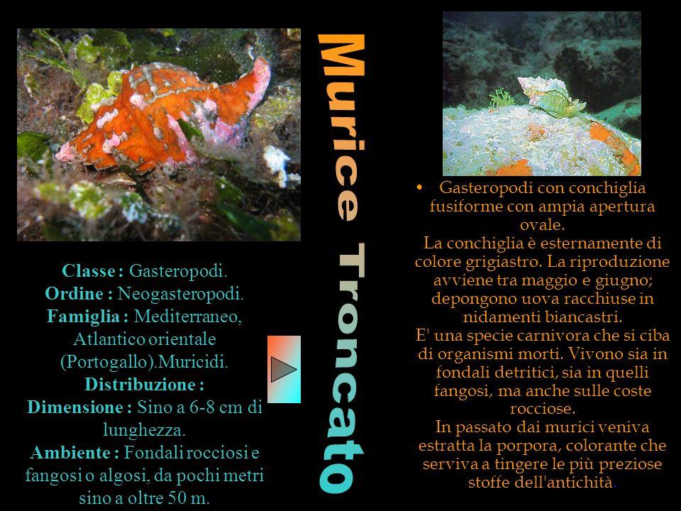 Classe : Gasteropodi. Ordine : Neogasteropodi. Famiglia : Mediterraneo, Atlantico orientale (Portogallo).Muricidi. Distribuzione : Dimensione : Sino a