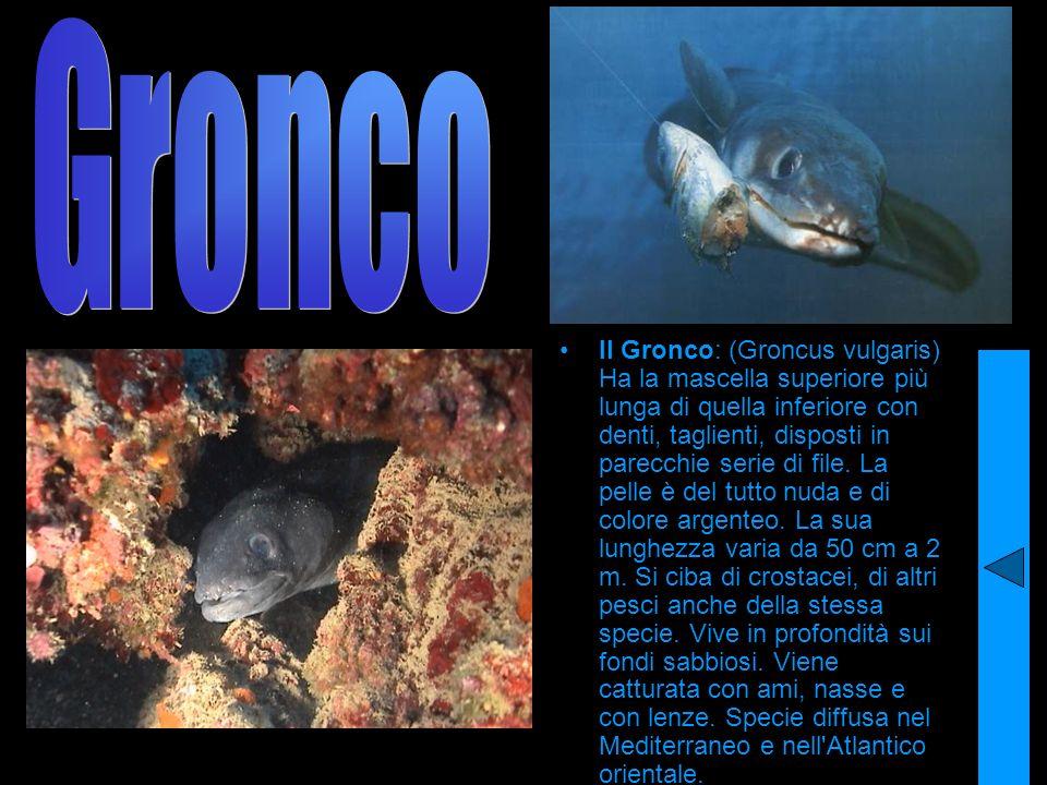 Il Gronco: (Groncus vulgaris) Ha la mascella superiore più lunga di quella inferiore con denti, taglienti, disposti in parecchie serie di file. La pel