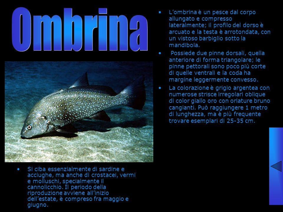 Si ciba essenzialmente di sardine e acciughe, ma anche di crostacei, vermi e molluschi, specialmente il cannolicchio. Il periodo della riproduzione av