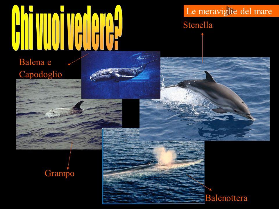 Stenella Balena e Capodoglio Grampo Balenottera Le meraviglie del mare
