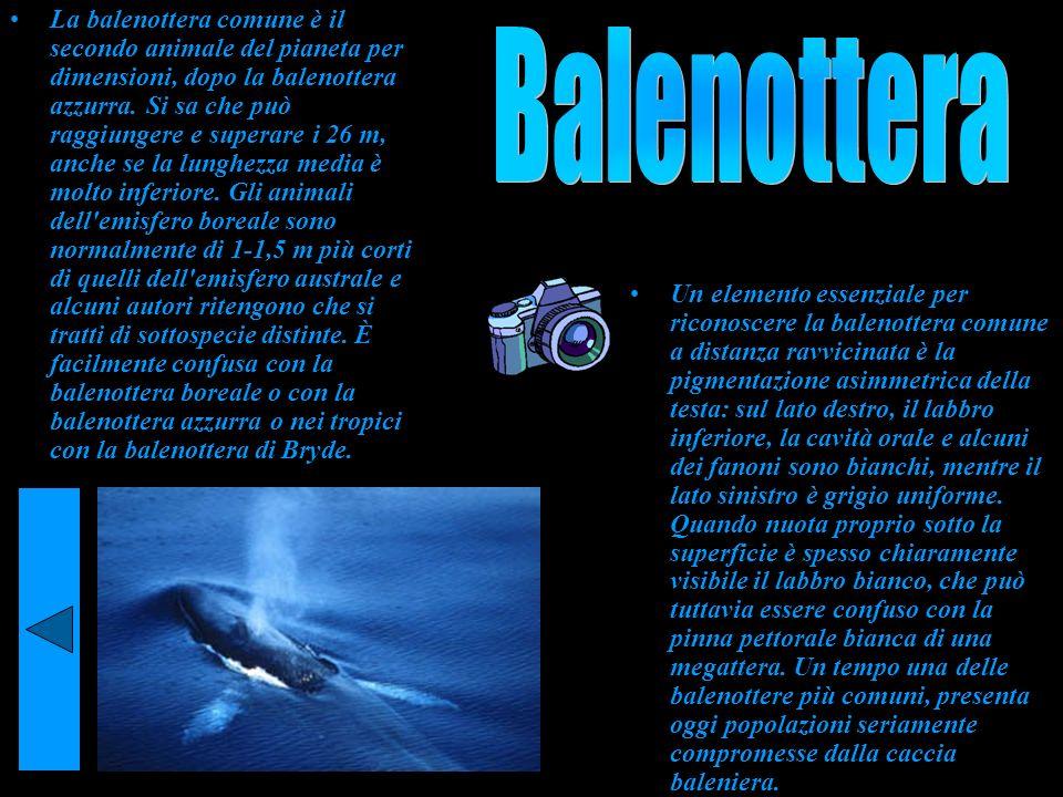 La balenottera comune è il secondo animale del pianeta per dimensioni, dopo la balenottera azzurra. Si sa che può raggiungere e superare i 26 m, anche