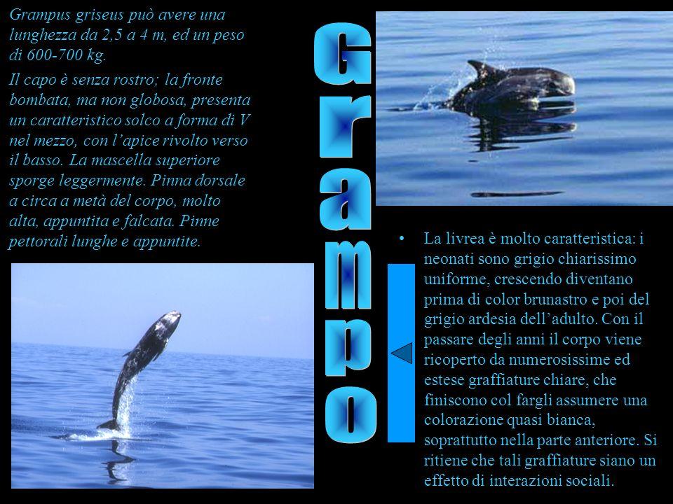 Grampus griseus può avere una lunghezza da 2,5 a 4 m, ed un peso di 600-700 kg. Il capo è senza rostro; la fronte bombata, ma non globosa, presenta un