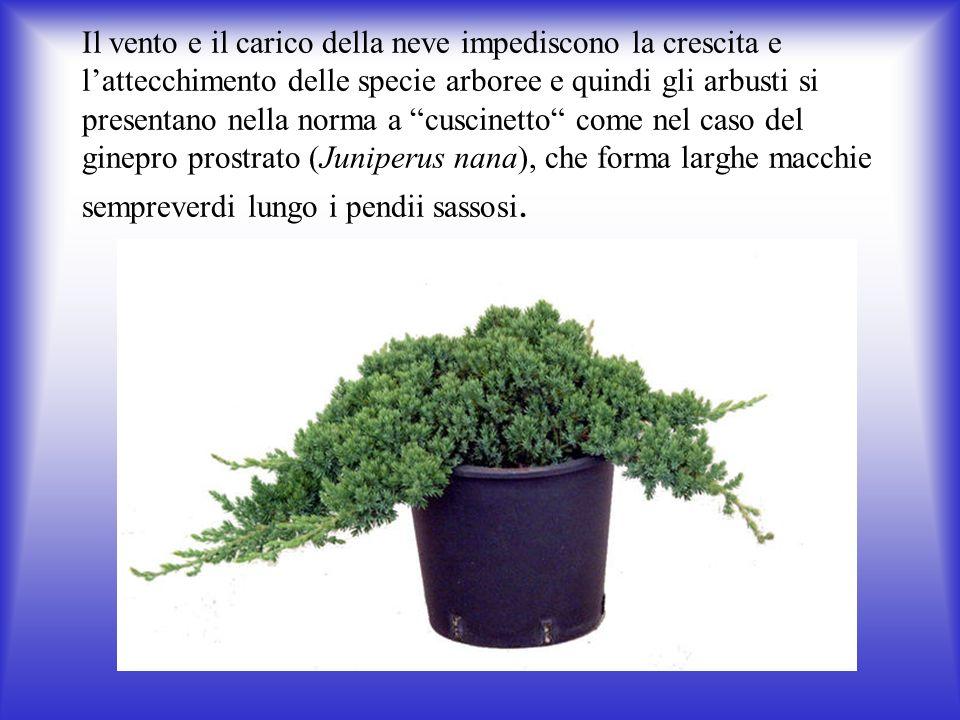 Il vento e il carico della neve impediscono la crescita e lattecchimento delle specie arboree e quindi gli arbusti si presentano nella norma a cuscinetto come nel caso del ginepro prostrato (Juniperus nana), che forma larghe macchie sempreverdi lungo i pendii sassosi.
