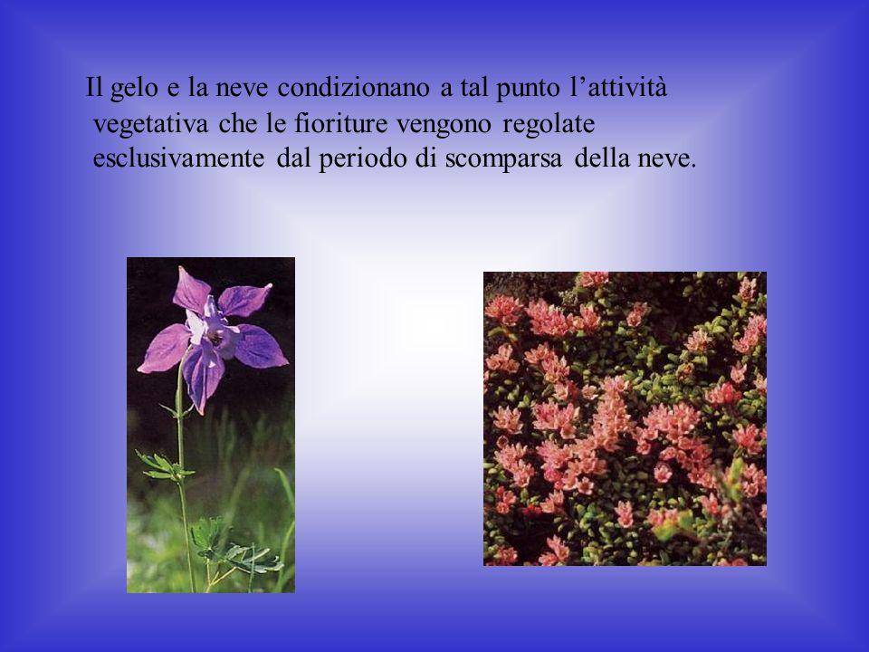 Il gelo e la neve condizionano a tal punto lattività vegetativa che le fioriture vengono regolate esclusivamente dal periodo di scomparsa della neve.