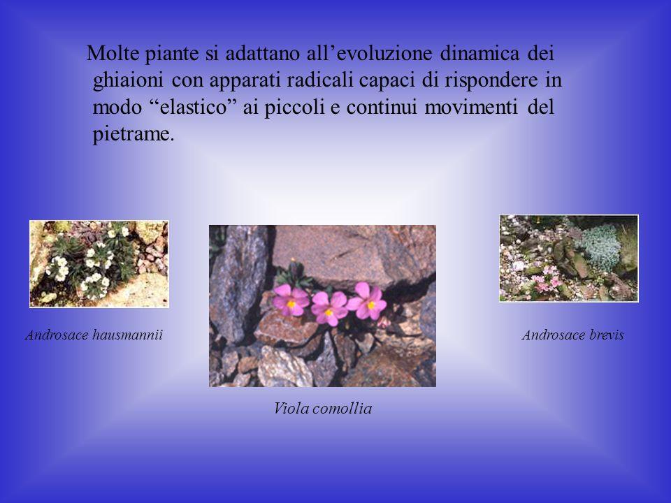 Molte piante si adattano allevoluzione dinamica dei ghiaioni con apparati radicali capaci di rispondere in modo elastico ai piccoli e continui movimenti del pietrame.