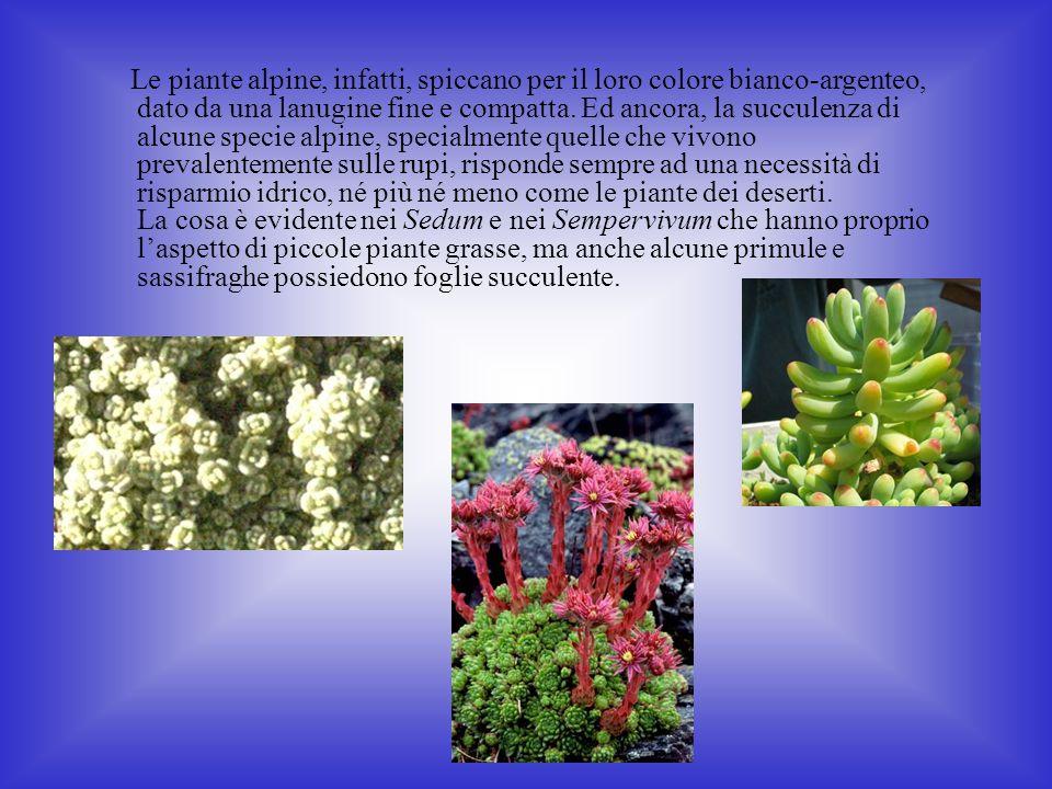 Le piante alpine, infatti, spiccano per il loro colore bianco-argenteo, dato da una lanugine fine e compatta.