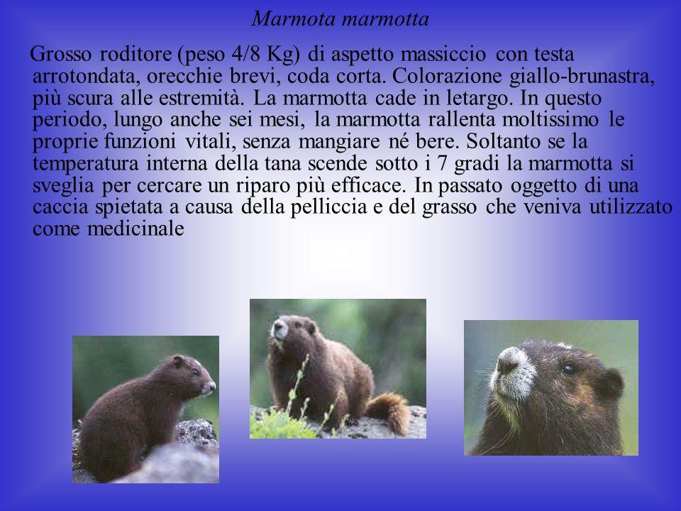 Grosso roditore (peso 4/8 Kg) di aspetto massiccio con testa arrotondata, orecchie brevi, coda corta.