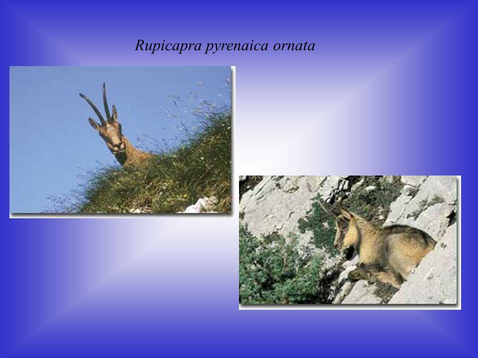 Rupicapra pyrenaica ornata