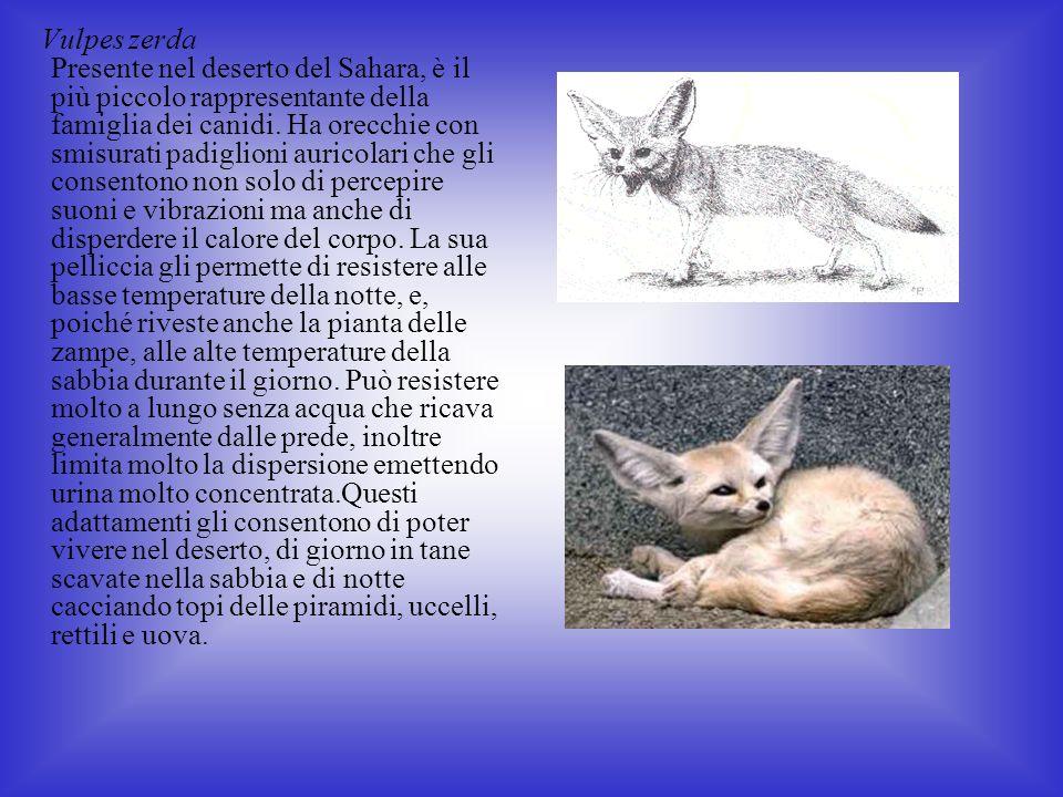 Vulpes zerda Presente nel deserto del Sahara, è il più piccolo rappresentante della famiglia dei canidi.