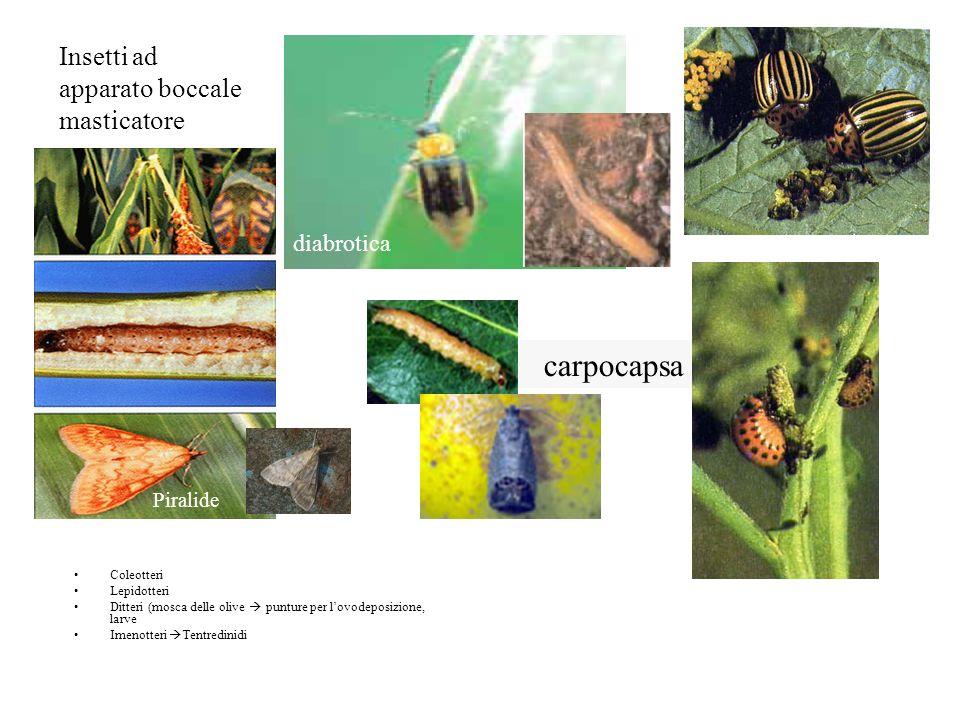 Insetti ad apparato boccale masticatore Coleotteri Lepidotteri Ditteri (mosca delle olive punture per lovodeposizione, larve Imenotteri Tentredinidi P