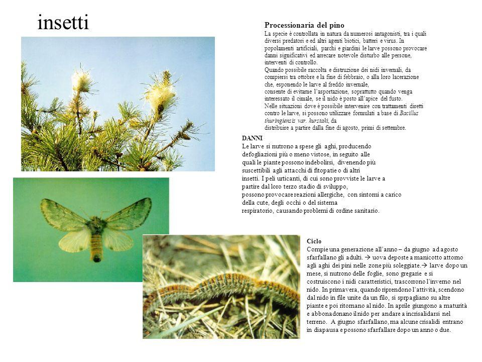 insetti DANNI Le larve si nutrono a spese gli aghi, producendo defogliazioni più o meno vistose, in seguito alle quali le piante possono indebolirsi,