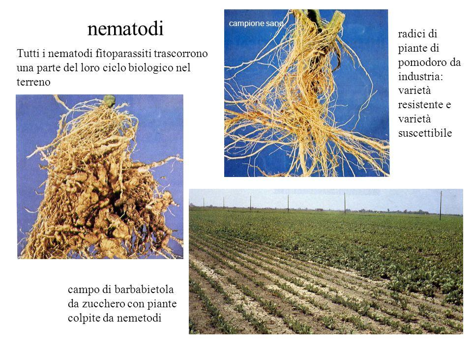 nematodi Tutti i nematodi fitoparassiti trascorrono una parte del loro ciclo biologico nel terreno campione sano radici di piante di pomodoro da indus