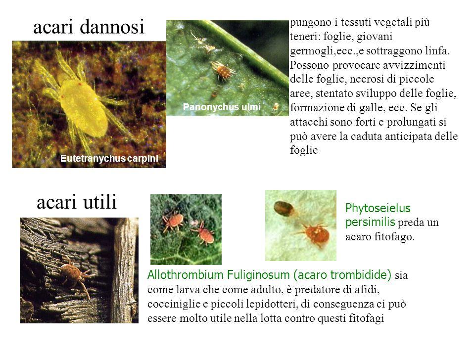 acari dannosi pungono i tessuti vegetali più teneri: foglie, giovani germogli,ecc.,e sottraggono linfa. Possono provocare avvizzimenti delle foglie, n