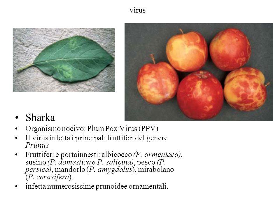 virus Sharka Organismo nocivo: Plum Pox Virus (PPV) Il virus infetta i principali fruttiferi del genere Prunus Fruttiferi e portainnesti: albicocco (P