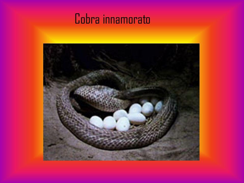 Il cobra è il nome comune utilizzato per identificare alcuni elapidi in grado di allargare le costole per formare il famoso cappuccio.