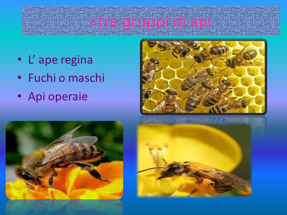 I tre gruppi di api L ape regina Fuchi o maschi Api operaie