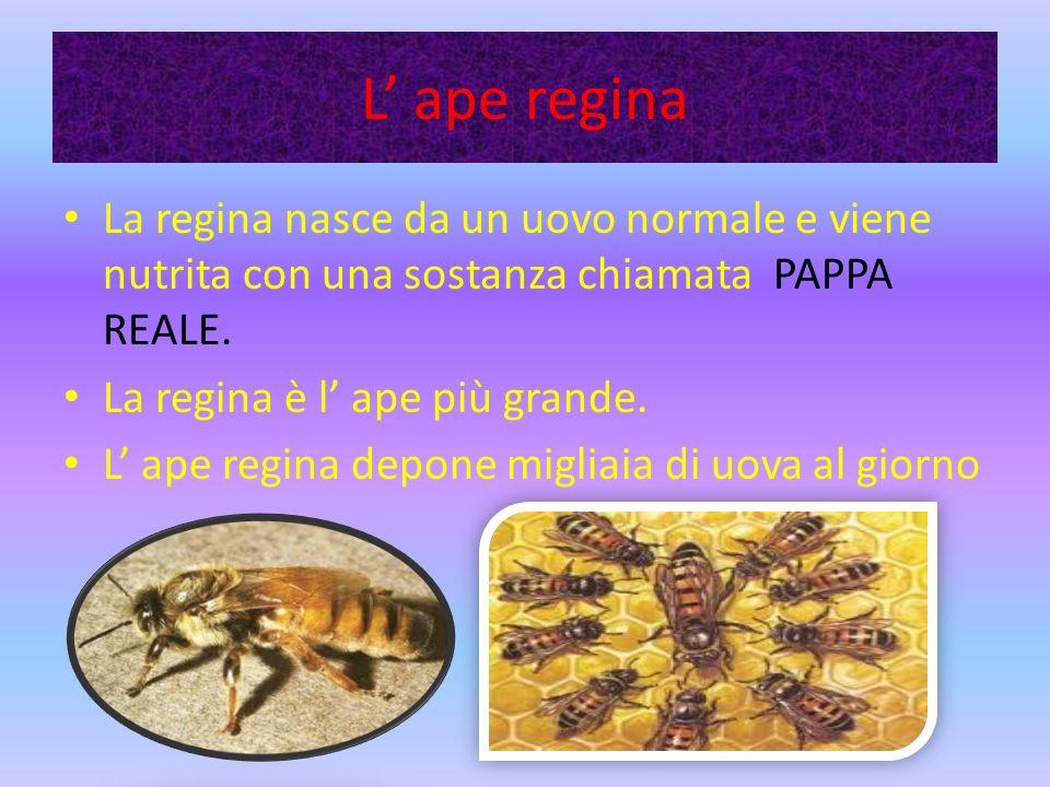 L ape regina La regina nasce da un uovo normale e viene nutrita con una sostanza chiamata PAPPA REALE.