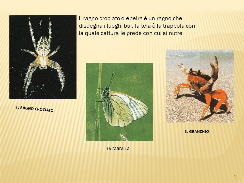 IL RAGNO CROCIATO Il ragno crociato o epeira è un ragno che disdegna i luoghi bui; la tela è la trappola con la quale cattura le prede con cui si nutre IL GRANCHIO LA FARFALLA 21