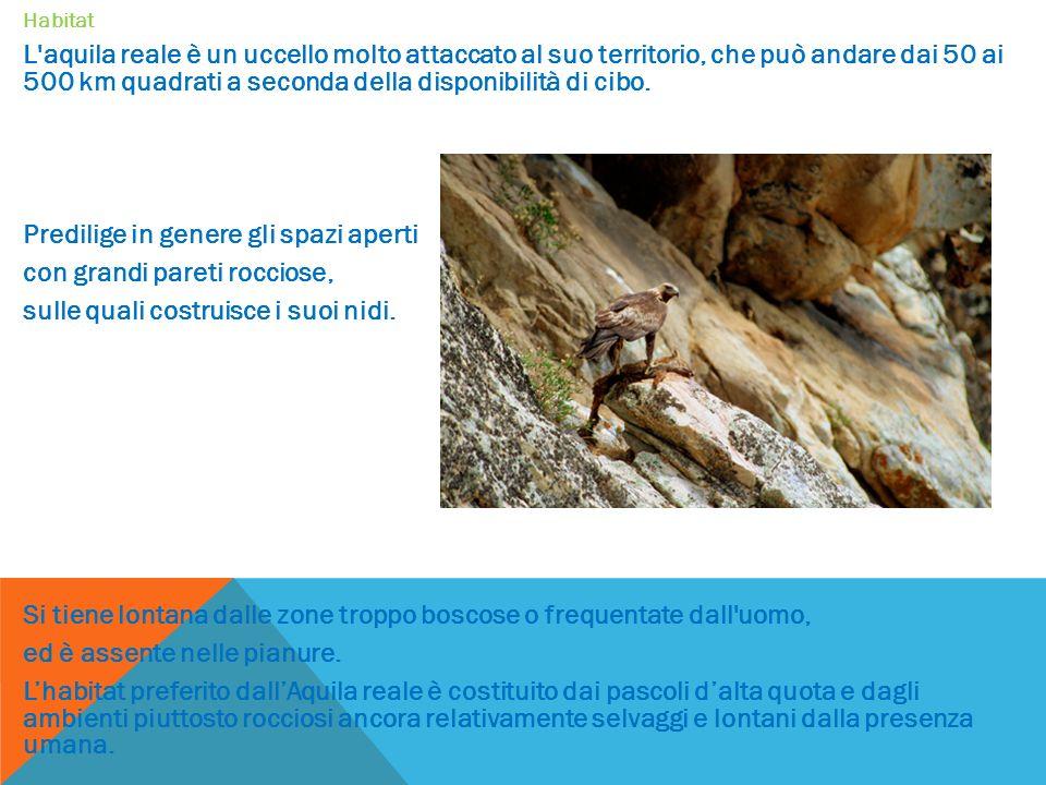 Habitat L aquila reale è un uccello molto attaccato al suo territorio, che può andare dai 50 ai 500 km quadrati a seconda della disponibilità di cibo.