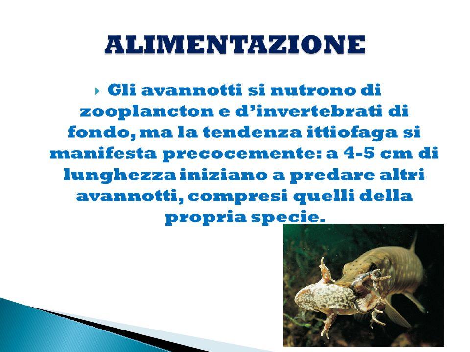 La dieta del luccio adulto è formata principalmente da pesci, crostacei isopodi e anfipodi e da altri invertebrati.