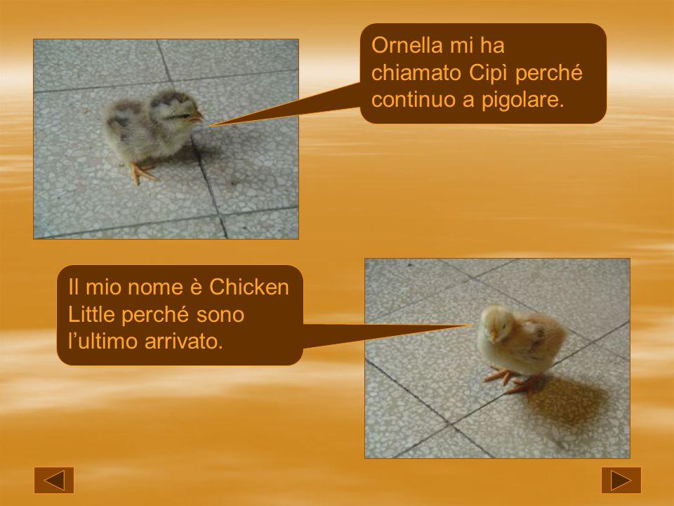 Ornella mi ha chiamato Cipì perché continuo a pigolare. Il mio nome è Chicken Little perché sono lultimo arrivato.