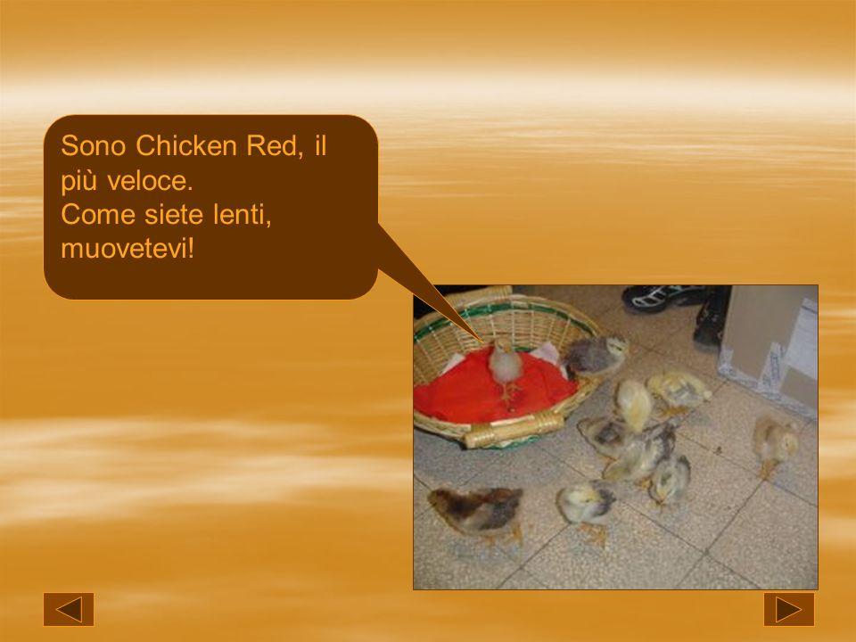 Sono Chicken Red, il più veloce. Come siete lenti, muovetevi!