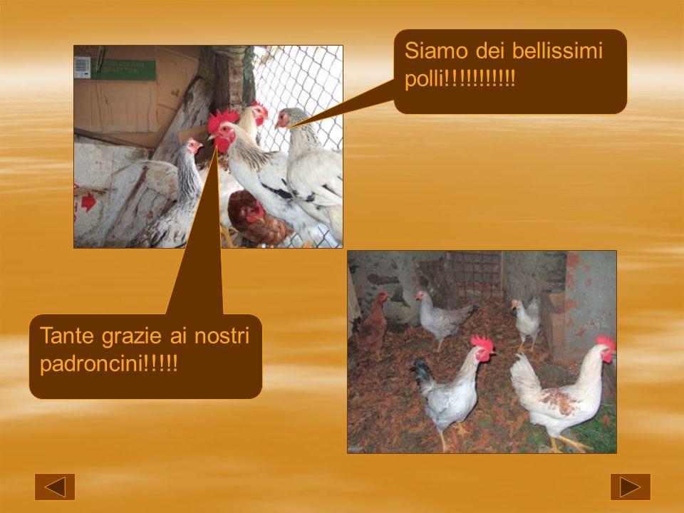 Siamo dei bellissimi polli!!!!!!!!!!! Tante grazie ai nostri padroncini!!!!!