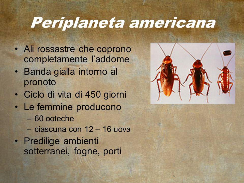 Periplaneta americana Ali rossastre che coprono completamente laddome Banda gialla intorno al pronoto Ciclo di vita di 450 giorni Le femmine producono