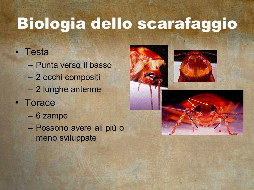 Biologia dello scarafaggio Testa –Punta verso il basso –2 occhi compositi –2 lunghe antenne Torace –6 zampe –Possono avere ali più o meno sviluppate