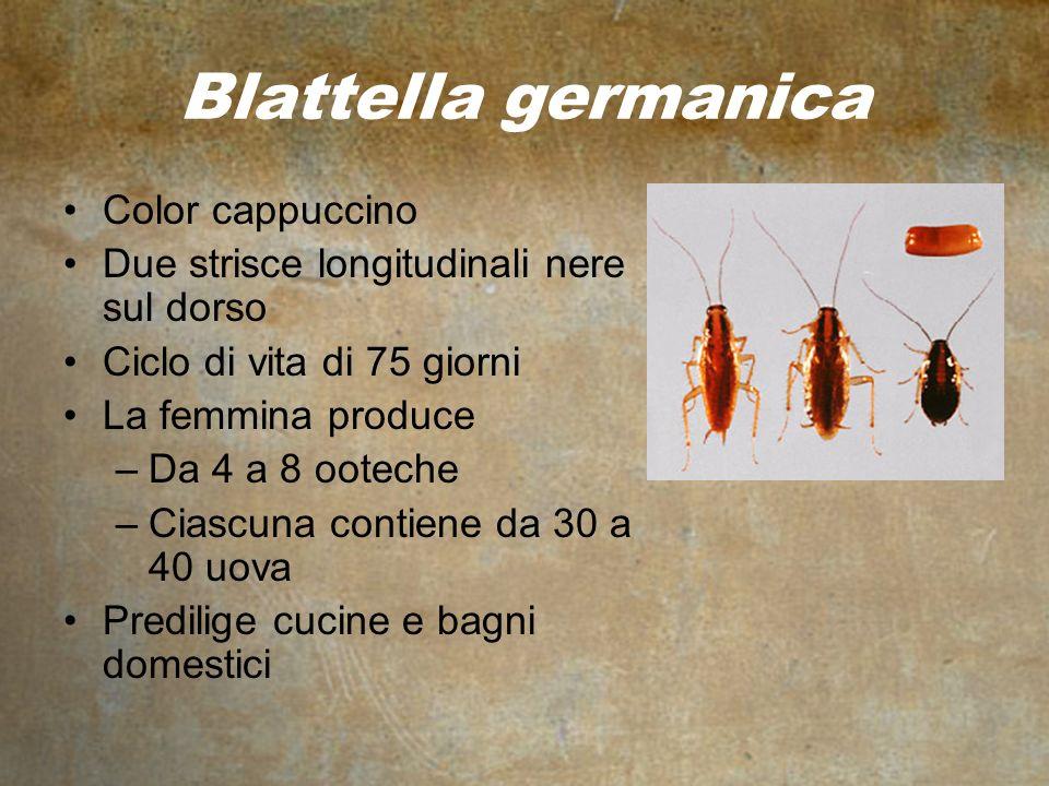 Blattella germanica Color cappuccino Due strisce longitudinali nere sul dorso Ciclo di vita di 75 giorni La femmina produce –Da 4 a 8 ooteche –Ciascuna contiene da 30 a 40 uova Predilige cucine e bagni domestici