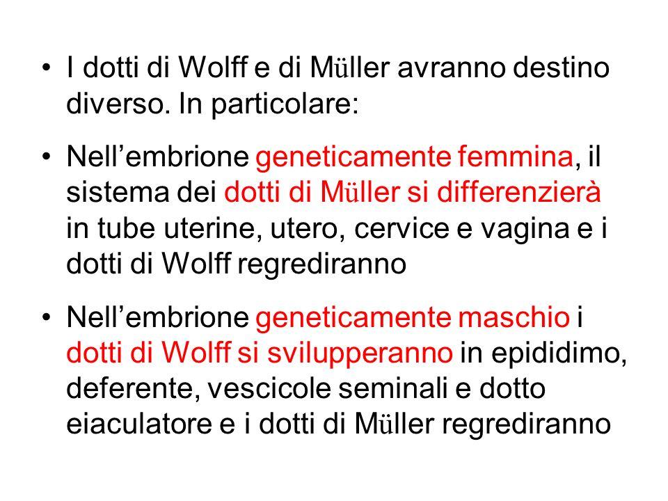 I dotti di Wolff e di M ü ller avranno destino diverso. In particolare: Nellembrione geneticamente femmina, il sistema dei dotti di M ü ller si differ