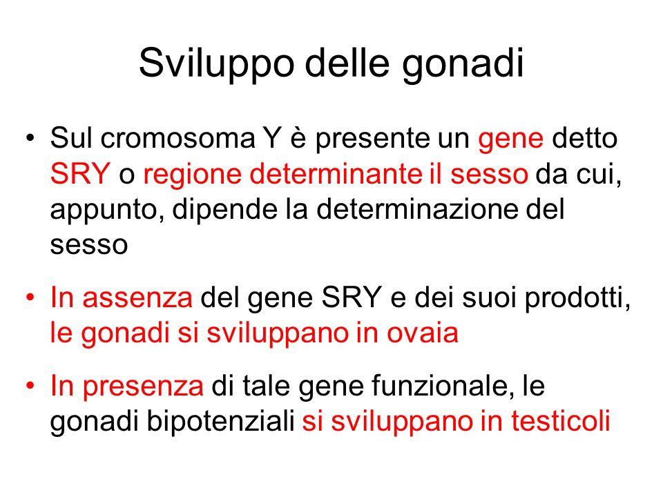 Sviluppo delle gonadi Sul cromosoma Y è presente un gene detto SRY o regione determinante il sesso da cui, appunto, dipende la determinazione del sess
